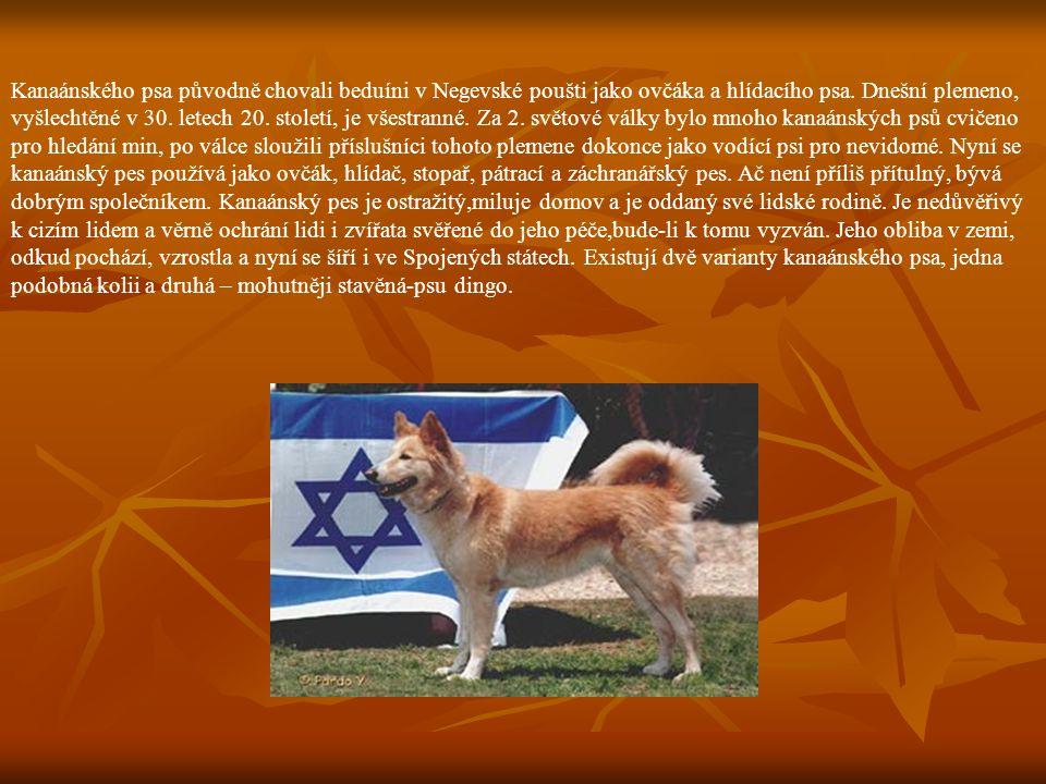 Kanaánského psa původně chovali beduíni v Negevské poušti jako ovčáka a hlídacího psa. Dnešní plemeno, vyšlechtěné v 30. letech 20. století, je všestr