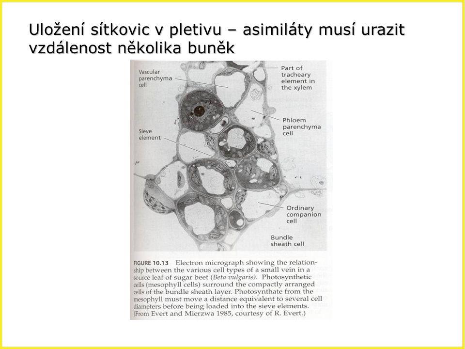 Uložení sítkovic v pletivu – asimiláty musí urazit vzdálenost několika buněk