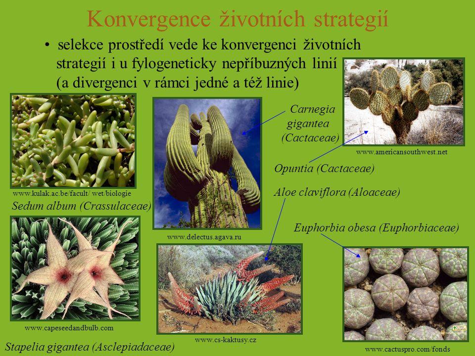 Konvergence životních strategií selekce prostředí vede ke konvergenci životních strategií i u fylogeneticky nepříbuzných linií (a divergenci v rámci j