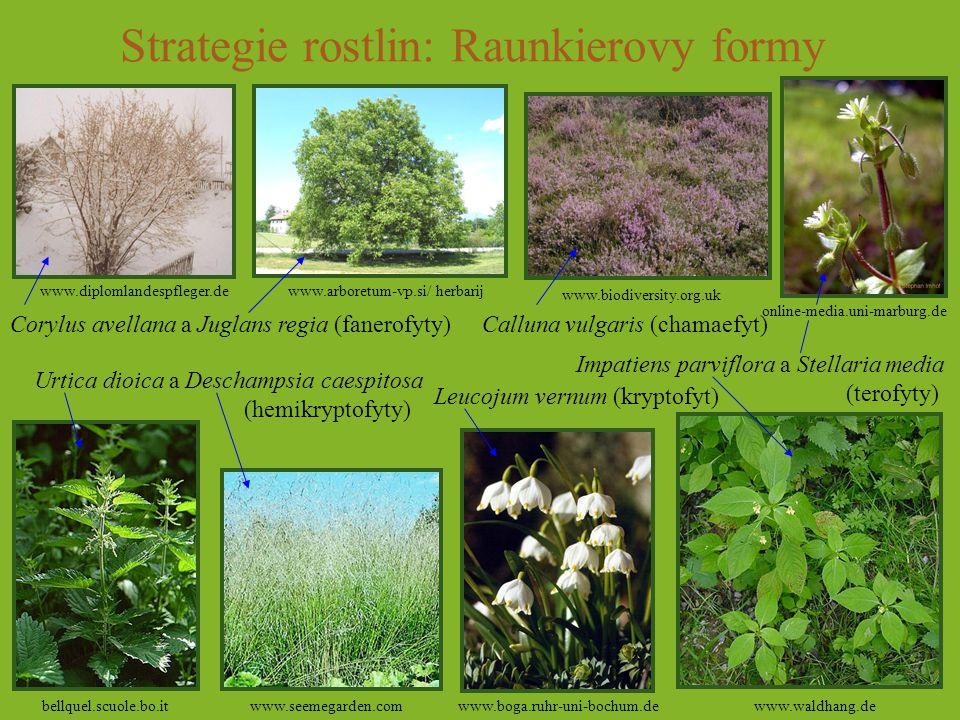 Strategie rostlin: Raunkierovy formy Corylus avellana a Juglans regia (fanerofyty) Urtica dioica a Deschampsia caespitosa (hemikryptofyty) Calluna vul