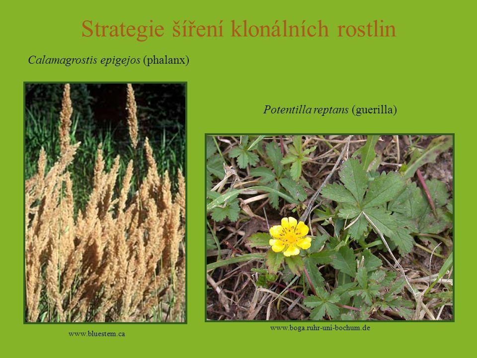 Strategie šíření klonálních rostlin www.bluestem.ca www.boga.ruhr-uni-bochum.de Calamagrostis epigejos (phalanx) Potentilla reptans (guerilla)