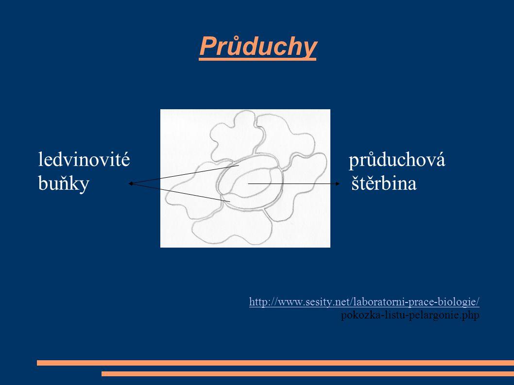 Průduchy ledvinovité průduchová buňky štěrbina http://www.sesity.net/laboratorni-prace-biologie/ pokozka-listu-pelargonie.php