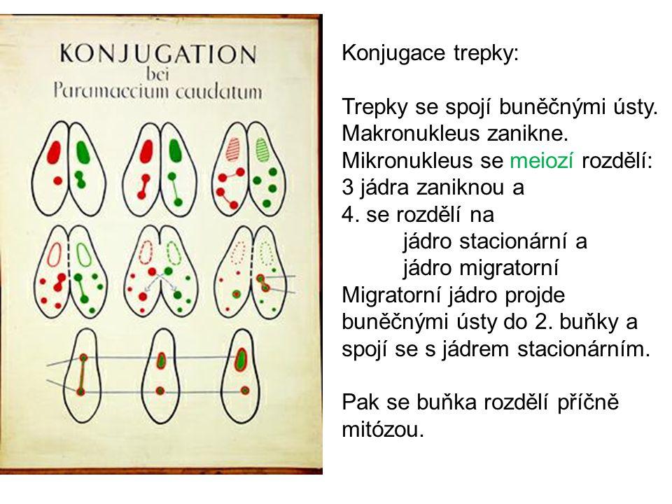 Konjugace trepky: Trepky se spojí buněčnými ústy.Makronukleus zanikne.