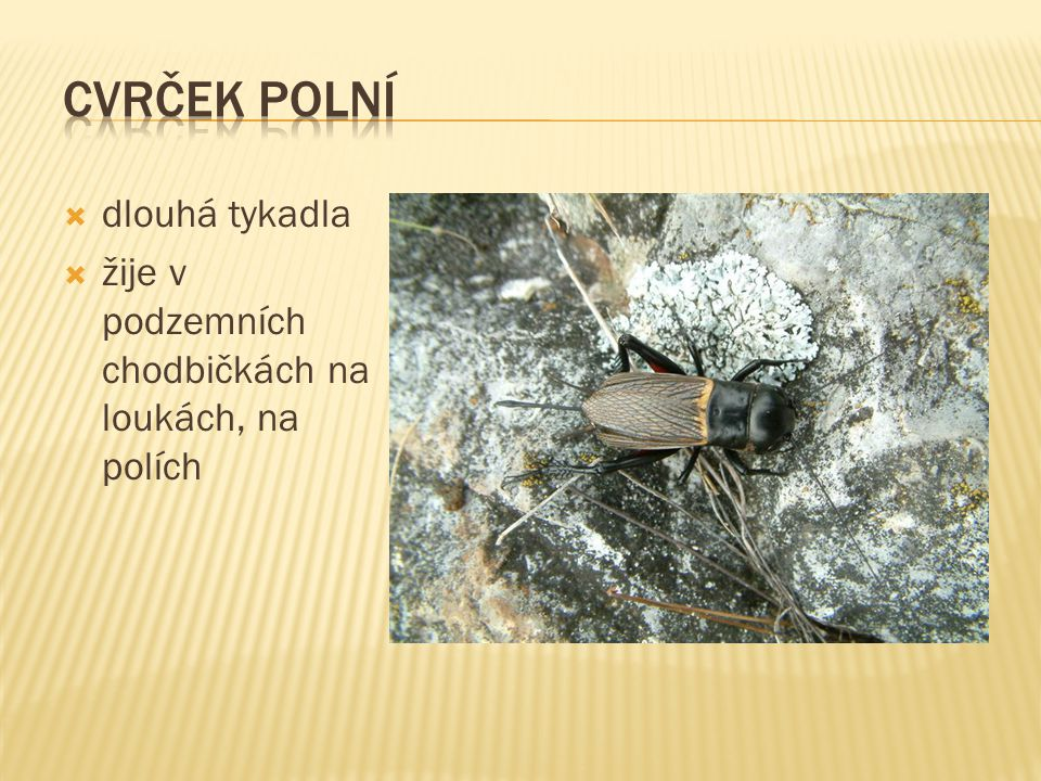  dlouhá tykadla  žije v podzemních chodbičkách na loukách, na polích