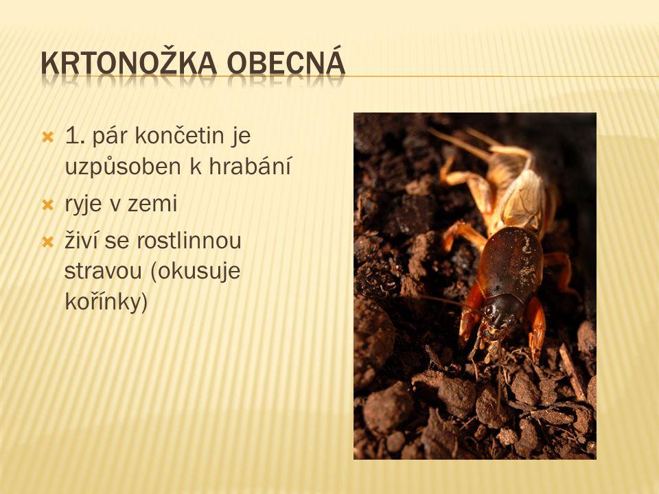  1. pár končetin je uzpůsoben k hrabání  ryje v zemi  živí se rostlinnou stravou (okusuje kořínky)