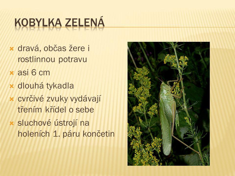  dravá, občas žere i rostlinnou potravu  asi 6 cm  dlouhá tykadla  cvrčivé zvuky vydávají třením křídel o sebe  sluchové ústrojí na holeních 1.