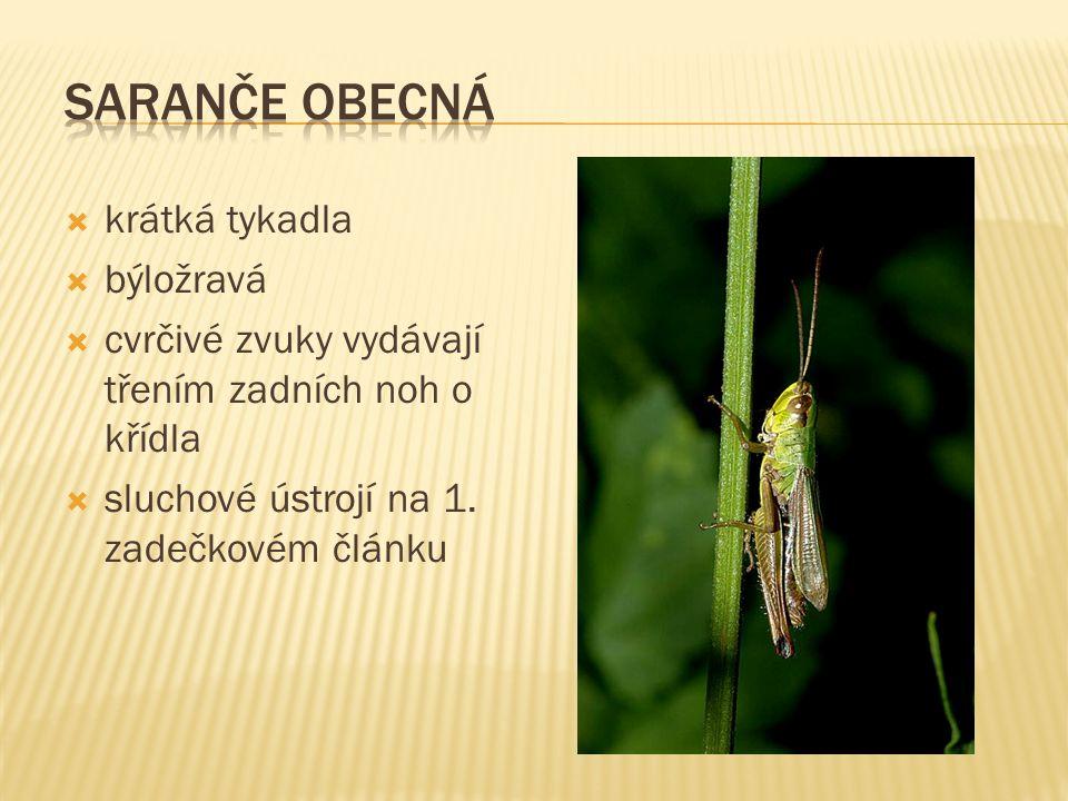 krátká tykadla  býložravá  cvrčivé zvuky vydávají třením zadních noh o křídla  sluchové ústrojí na 1.