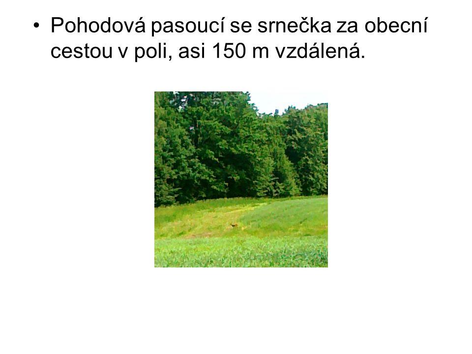 Pohodová pasoucí se srnečka za obecní cestou v poli, asi 150 m vzdálená.