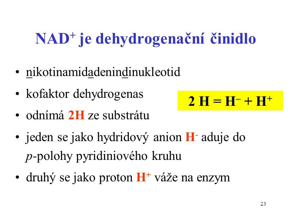 23 NAD + je dehydrogenační činidlo nikotinamidadenindinukleotid kofaktor dehydrogenas odnímá 2H ze substrátu jeden se jako hydridový anion H - aduje do p-polohy pyridiniového kruhu druhý se jako proton H + váže na enzym 2 H = H – + H +