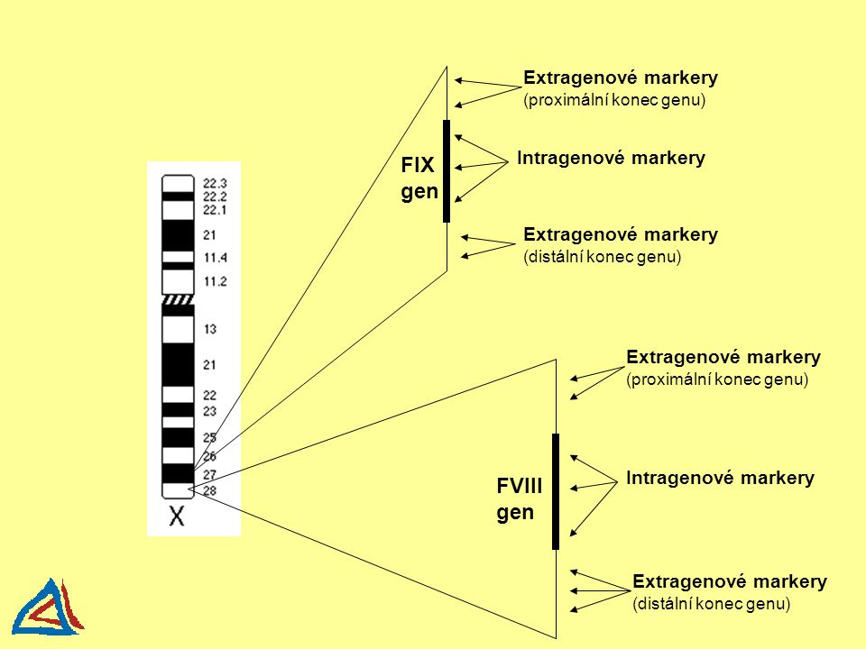 FIX gen FVIII gen Extragenové markery (proximální konec genu) Intragenové markery Extragenové markery (distální konec genu) Extragenové markery (proxi