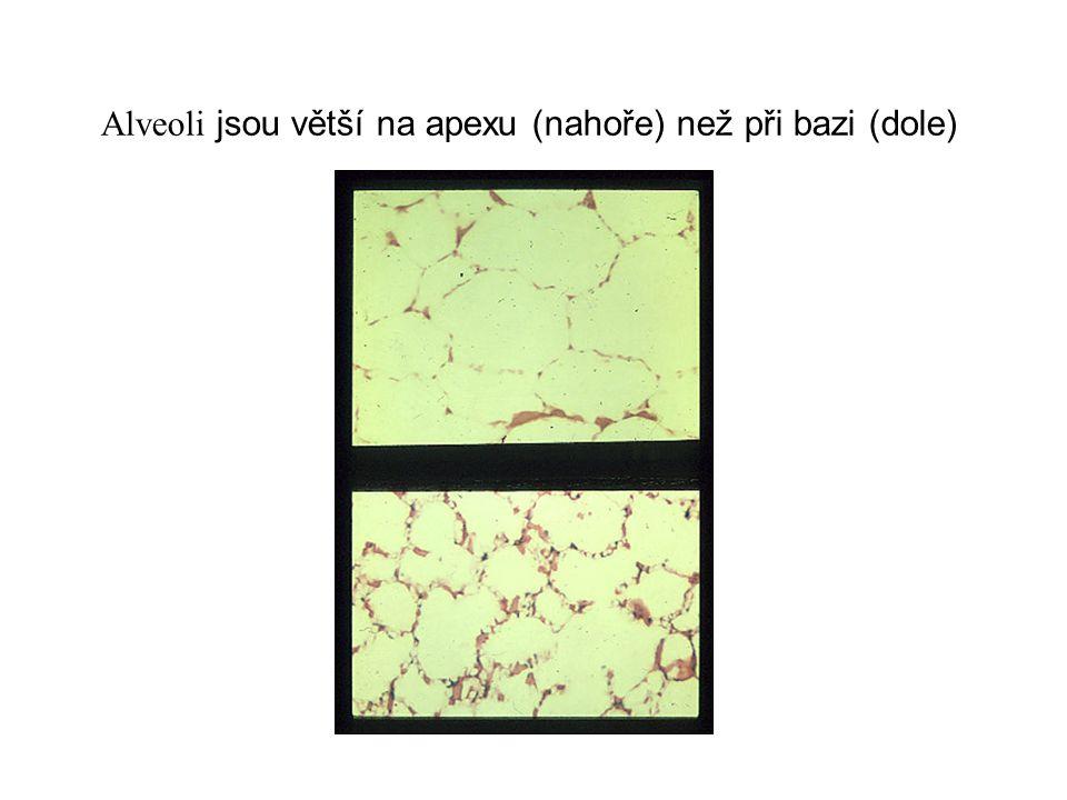 Alveoli jsou větší na apexu (nahoře) než při bazi (dole)