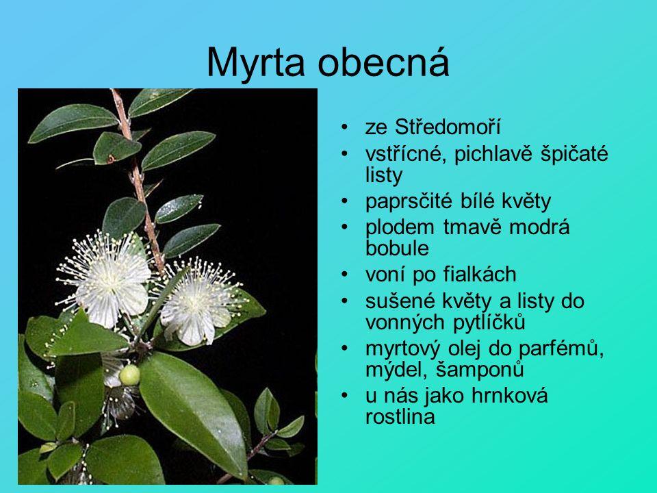 Myrta obecná ze Středomoří vstřícné, pichlavě špičaté listy paprsčité bílé květy plodem tmavě modrá bobule voní po fialkách sušené květy a listy do vo