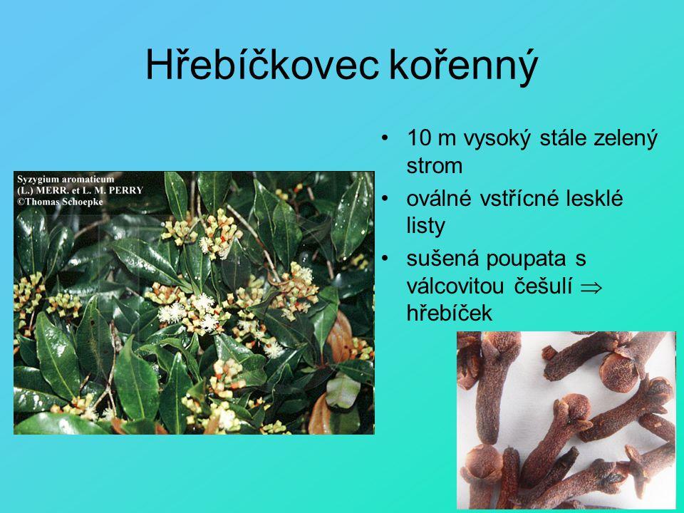 Hřebíčkovec kořenný 10 m vysoký stále zelený strom oválné vstřícné lesklé listy sušená poupata s válcovitou češulí  hřebíček