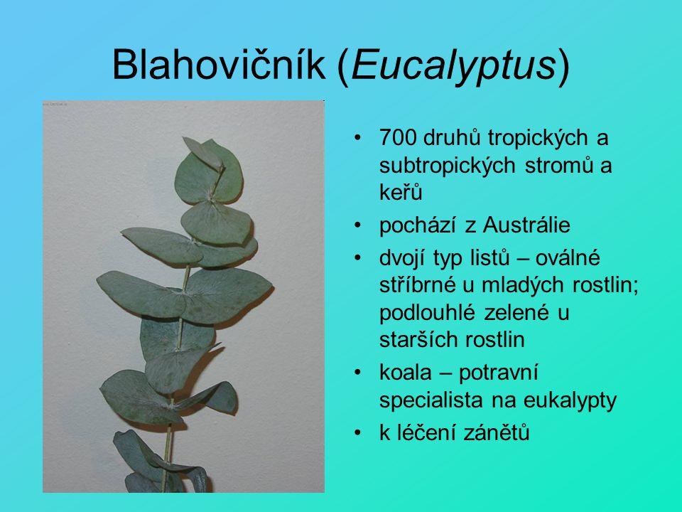 Blahovičník (Eucalyptus) 700 druhů tropických a subtropických stromů a keřů pochází z Austrálie dvojí typ listů – oválné stříbrné u mladých rostlin; p