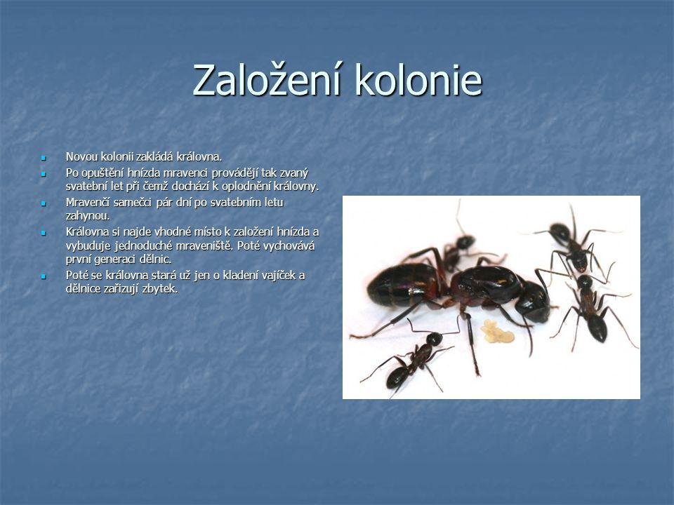 Souboje kolonií Mravenci jsou jedním z nejagresivnějších tvorů v živočišné říši.