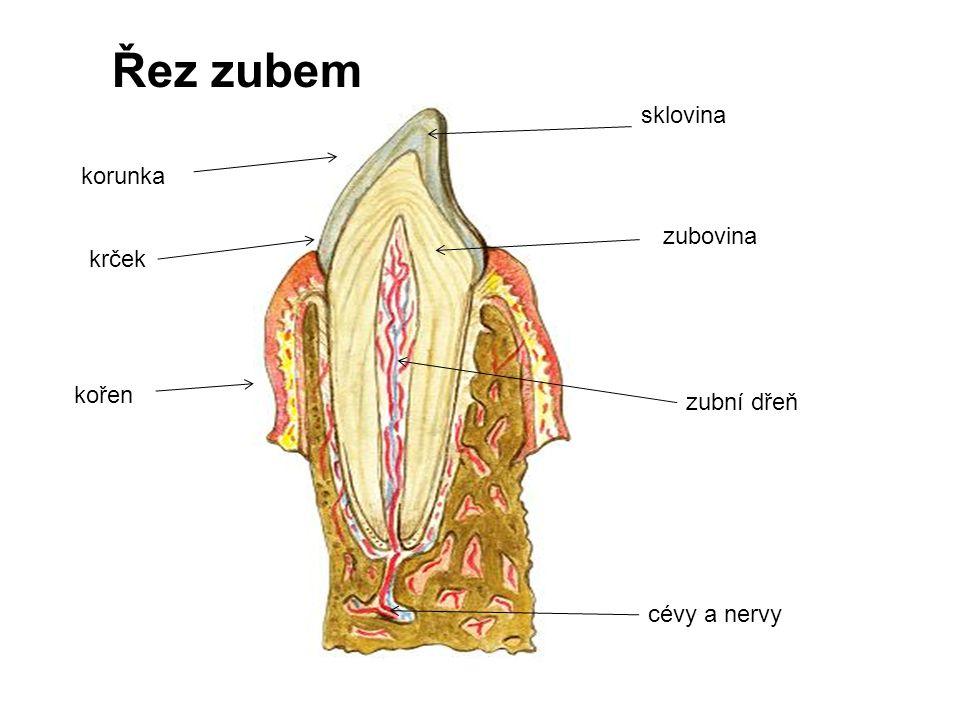 Řez zubem sklovina zubovina zubní dřeň cévy a nervy korunka krček kořen