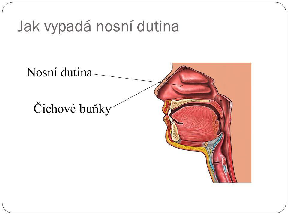 Jak vypadá nosní dutina Nosní dutina Čichové buňky