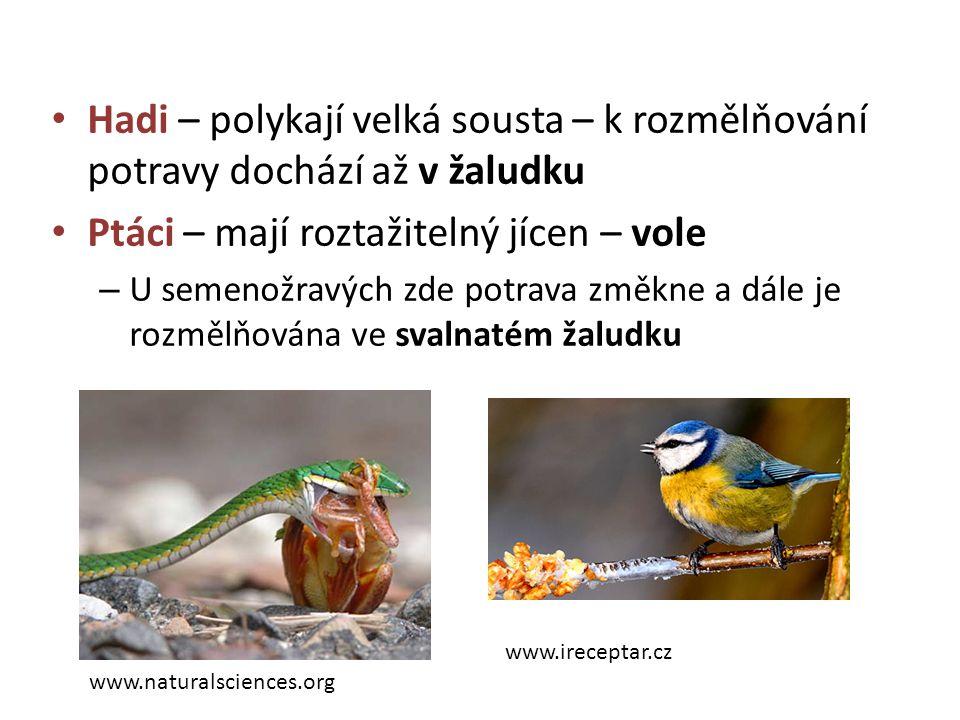 Hadi – polykají velká sousta – k rozmělňování potravy dochází až v žaludku Ptáci – mají roztažitelný jícen – vole – U semenožravých zde potrava změkne