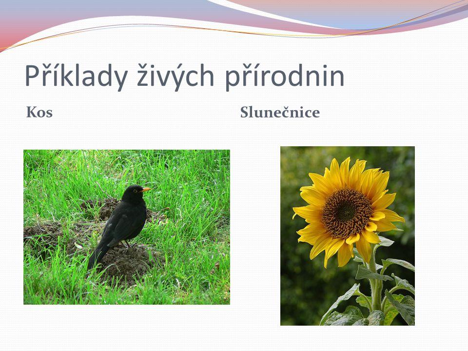 Příklady živých přírodnin Kos Slunečnice