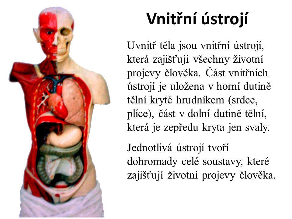 Vnitřní ústrojí Uvnitř těla jsou vnitřní ústrojí, která zajišťují všechny životní projevy člověka.