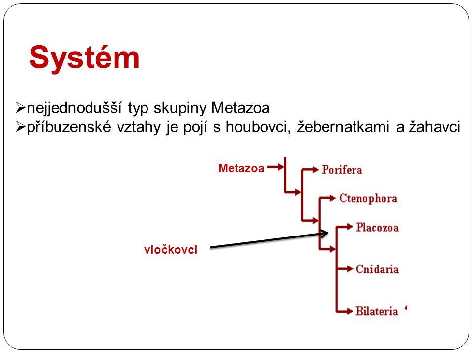 Systém  nejjednodušší typ skupiny Metazoa  příbuzenské vztahy je pojí s houbovci, žebernatkami a žahavci Metazoa vločkovci