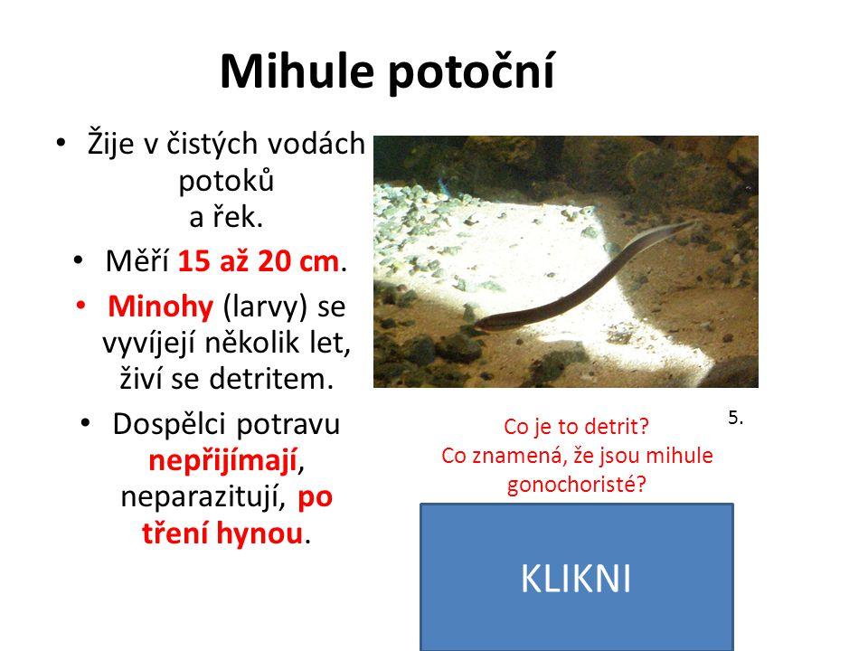 Mihule potoční Žije v čistých vodách potoků a řek. Měří 15 až 20 cm. Minohy (larvy) se vyvíjejí několik let, živí se detritem. Dospělci potravu nepřij