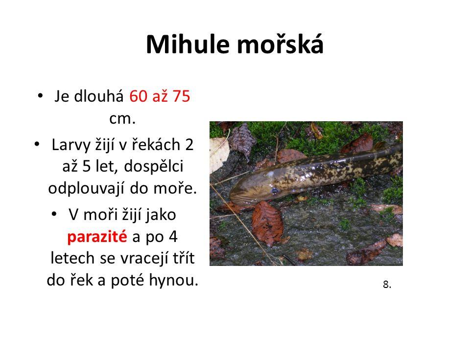 Mihule mořská Je dlouhá 60 až 75 cm.Larvy žijí v řekách 2 až 5 let, dospělci odplouvají do moře.