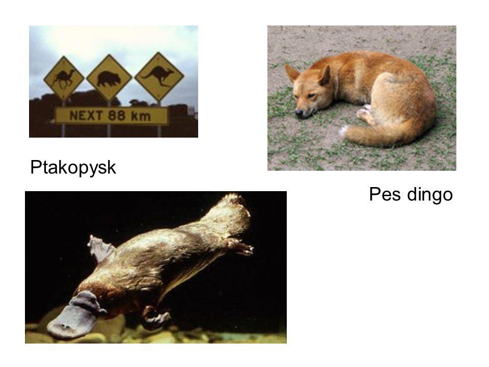 Pes dingo Ptakopysk