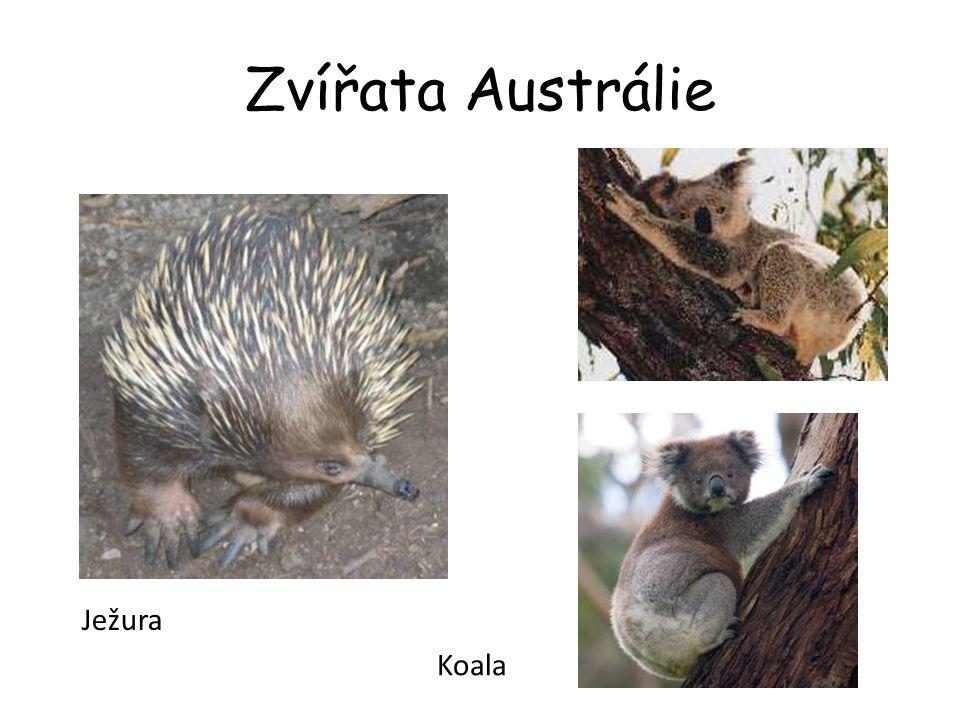 Zvířata Austrálie Ježura Koala