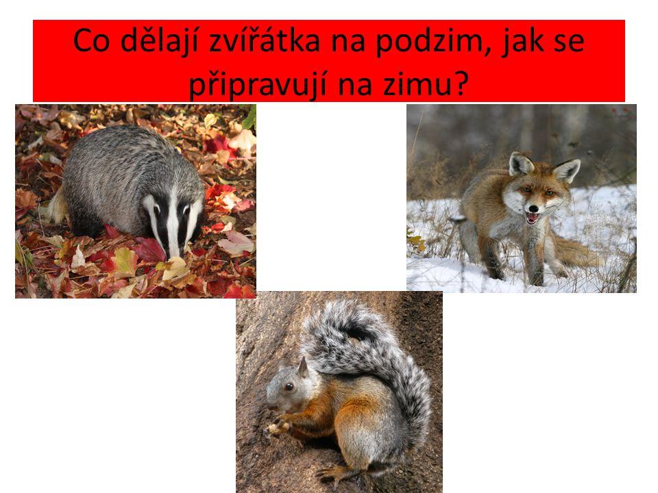Co dělají zvířátka na podzim, jak se připravují na zimu? Hledají úkryt ochranné zbarvení Hledání zásob