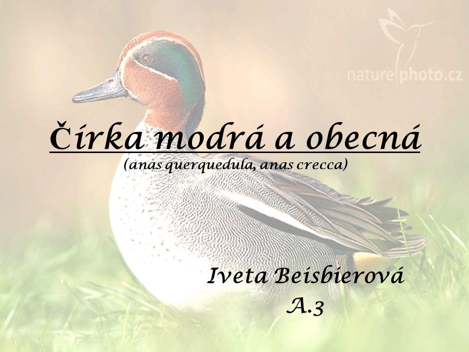 Č írka modrá a obecná (anas querquedula, anas crecca) Iveta Beisbierová A.3