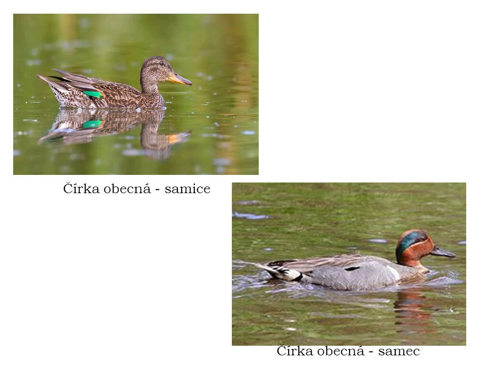 Čírka obecná - samice Čírka obecná - samec
