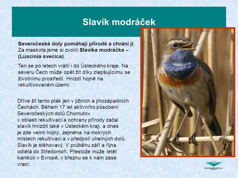 Slavík modráček Severočeské doly pomáhají přírodě a chrání ji. Za maskota jsme si zvolili Slavíka modráčka – (Luscinia svecica). Ten se po letech vrát