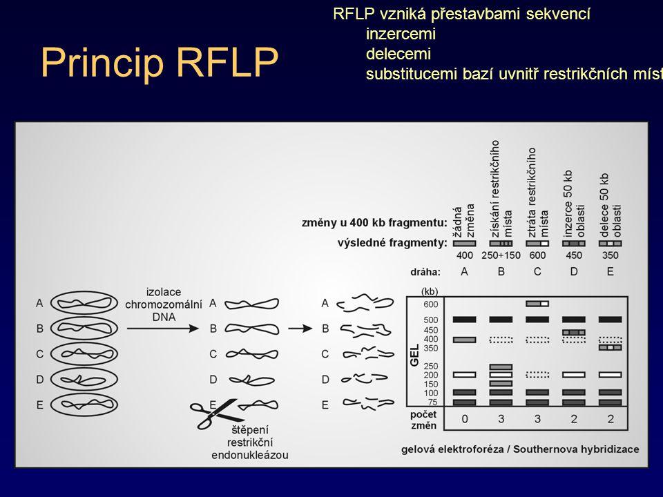 Princip RFLP RFLP vzniká přestavbami sekvencí inzercemi delecemi substitucemi bazí uvnitř restrikčních míst