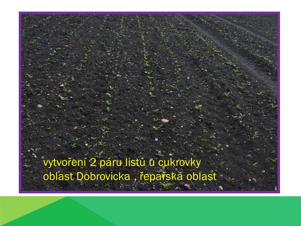 vytvoření 2 páru listů u cukrovky oblast Dobrovicka, řepařská oblast