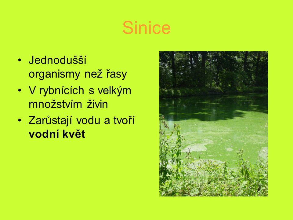 Sinice Jednodušší organismy než řasy V rybnících s velkým množstvím živin Zarůstají vodu a tvoří vodní květ