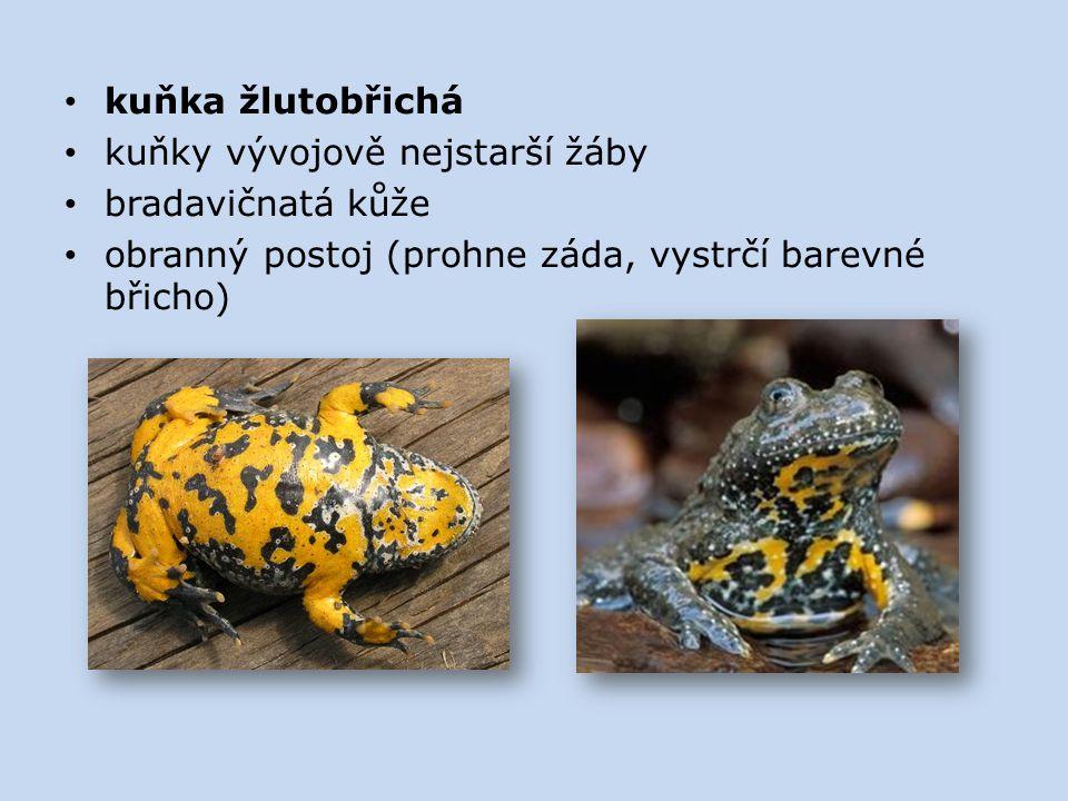 kuňka žlutobřichá kuňky vývojově nejstarší žáby bradavičnatá kůže obranný postoj (prohne záda, vystrčí barevné břicho)