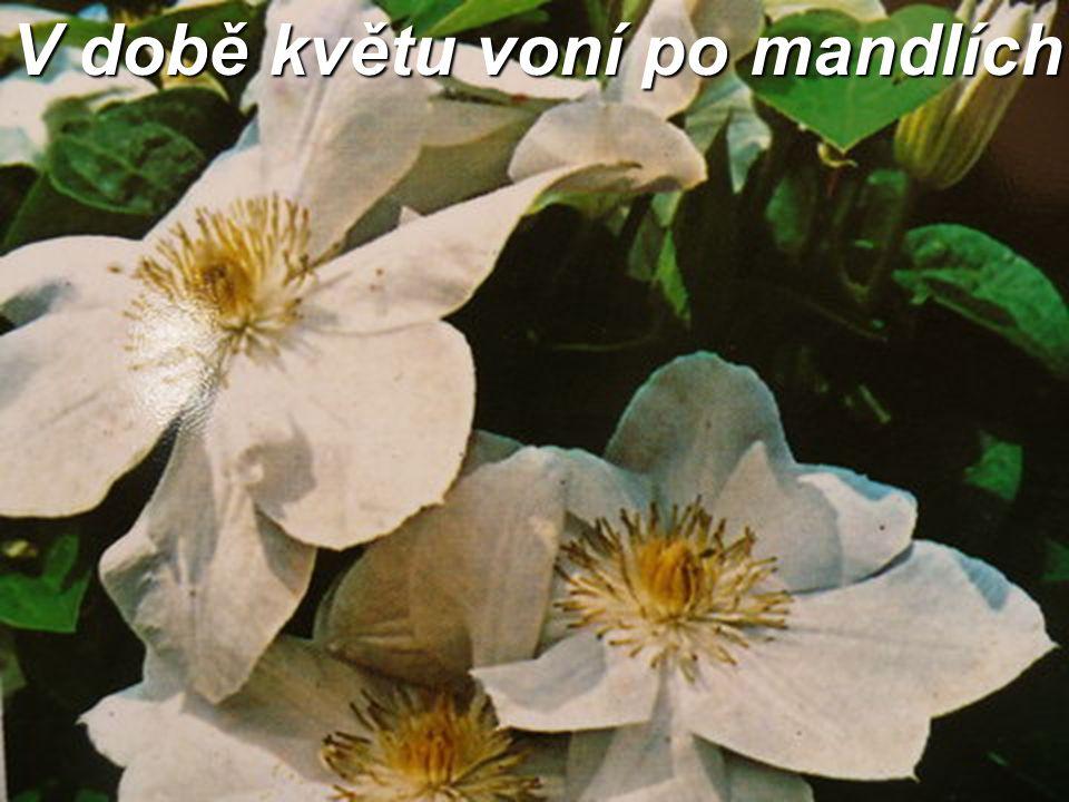 V době květu voní po mandlích