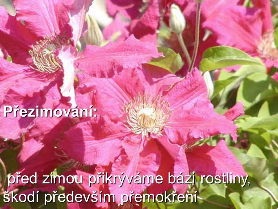 Přezimování: před zimou přikrýváme bázi rostliny, škodí především přemokření před zimou přikrýváme bázi rostliny, škodí především přemokření