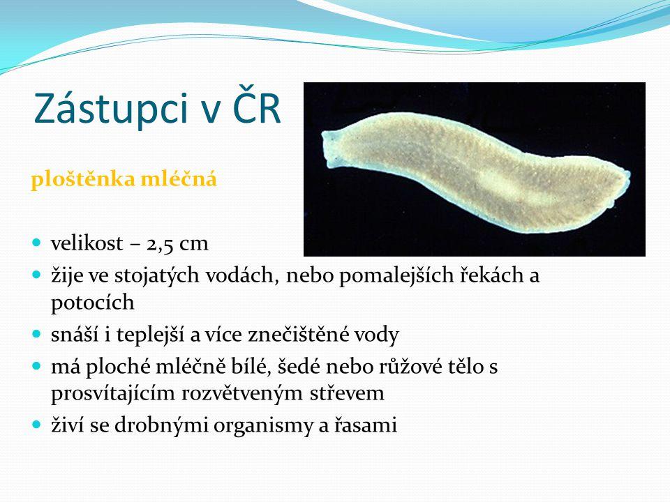 Zástupci v ČR ploštěnka mléčná velikost – 2,5 cm žije ve stojatých vodách, nebo pomalejších řekách a potocích snáší i teplejší a více znečištěné vody