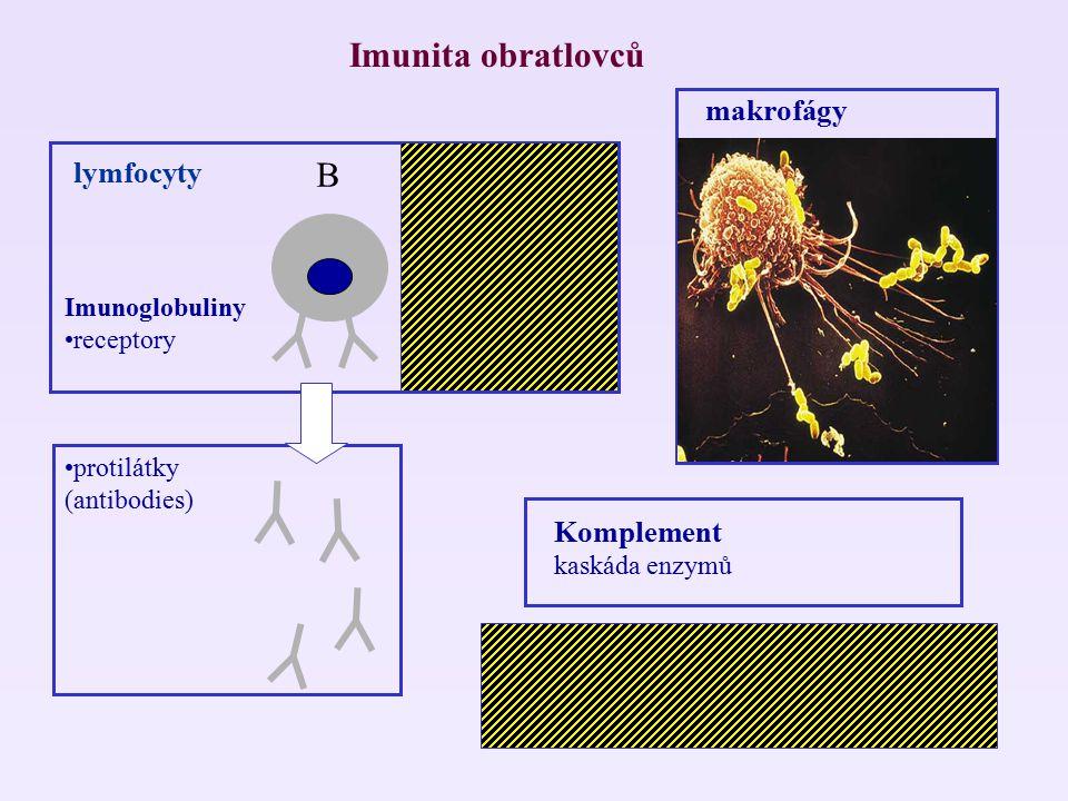 Imunita obratlovců lymfocyty B T Komplement kaskáda enzymů MHC (major histocompatibility system) Imunoglobuliny receptory protilátky (antibodies) makr