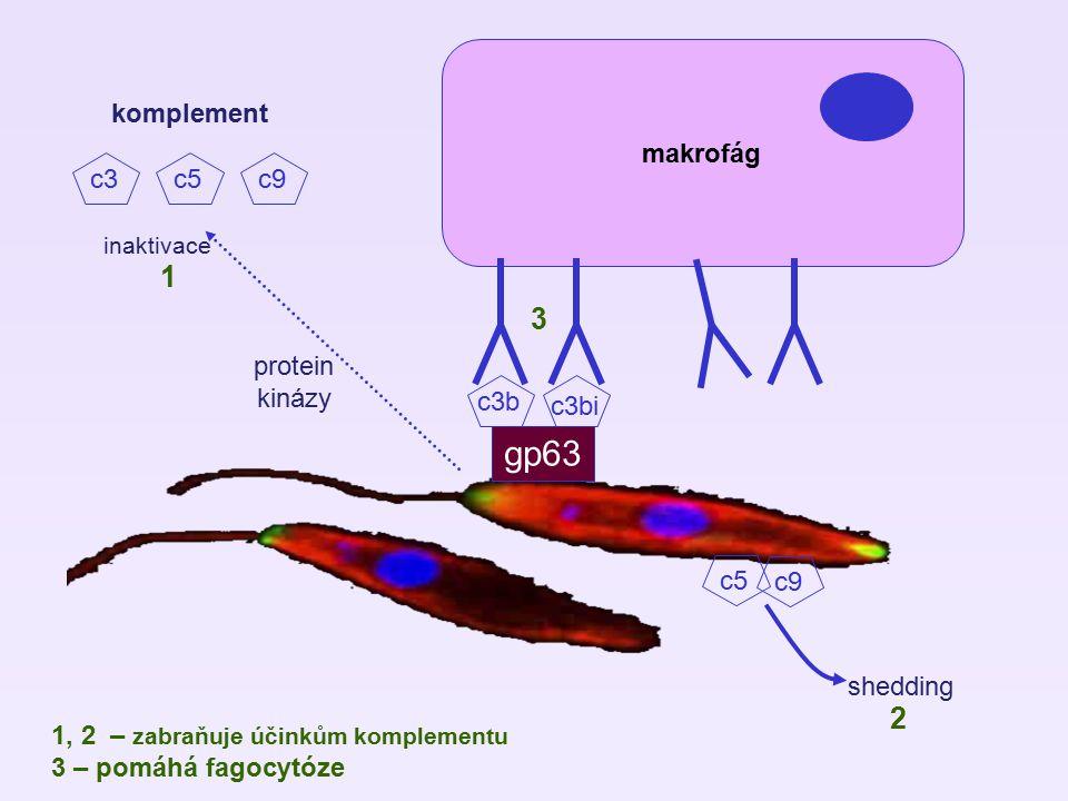 makrofág gp63 c3b c3bi komplement c3c5c9 c5 c9 shedding inaktivace protein kinázy 1 2 3 1, 2 – zabraňuje účinkům komplementu 3 – pomáhá fagocytóze