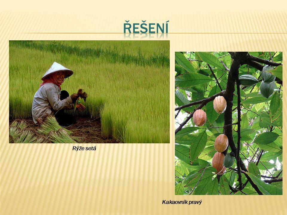 Rýže setá Kakaovník pravý