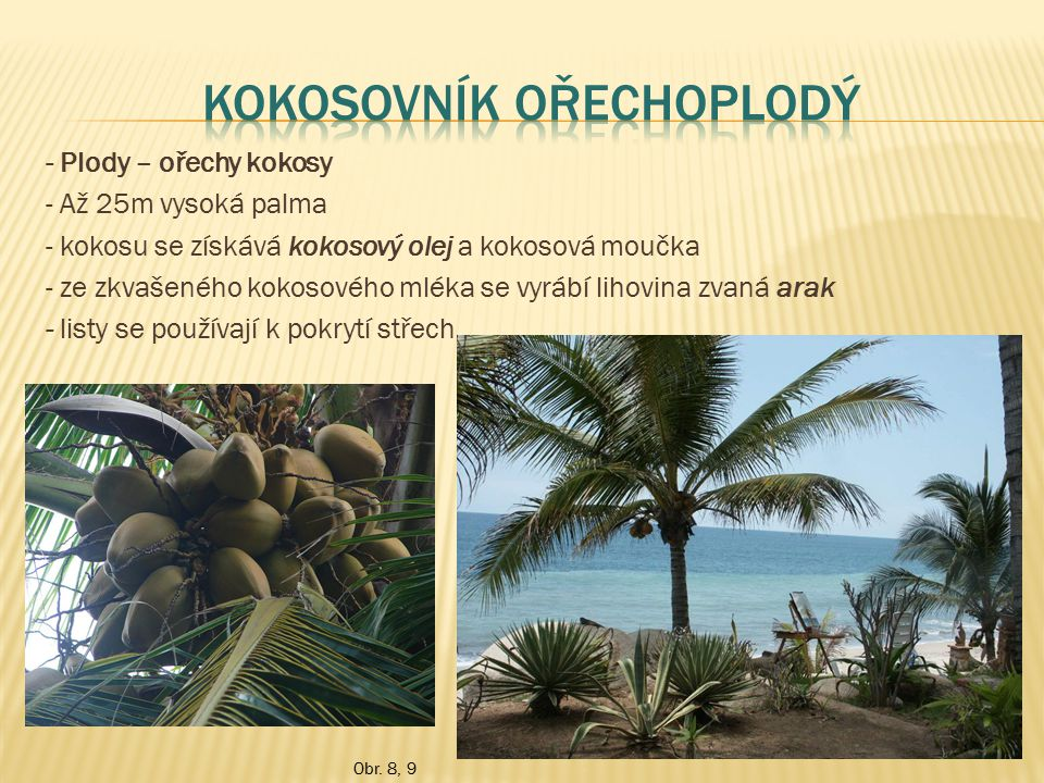 - Plody – ořechy kokosy - Až 25m vysoká palma - kokosu se získává kokosový olej a kokosová moučka - ze zkvašeného kokosového mléka se vyrábí lihovina