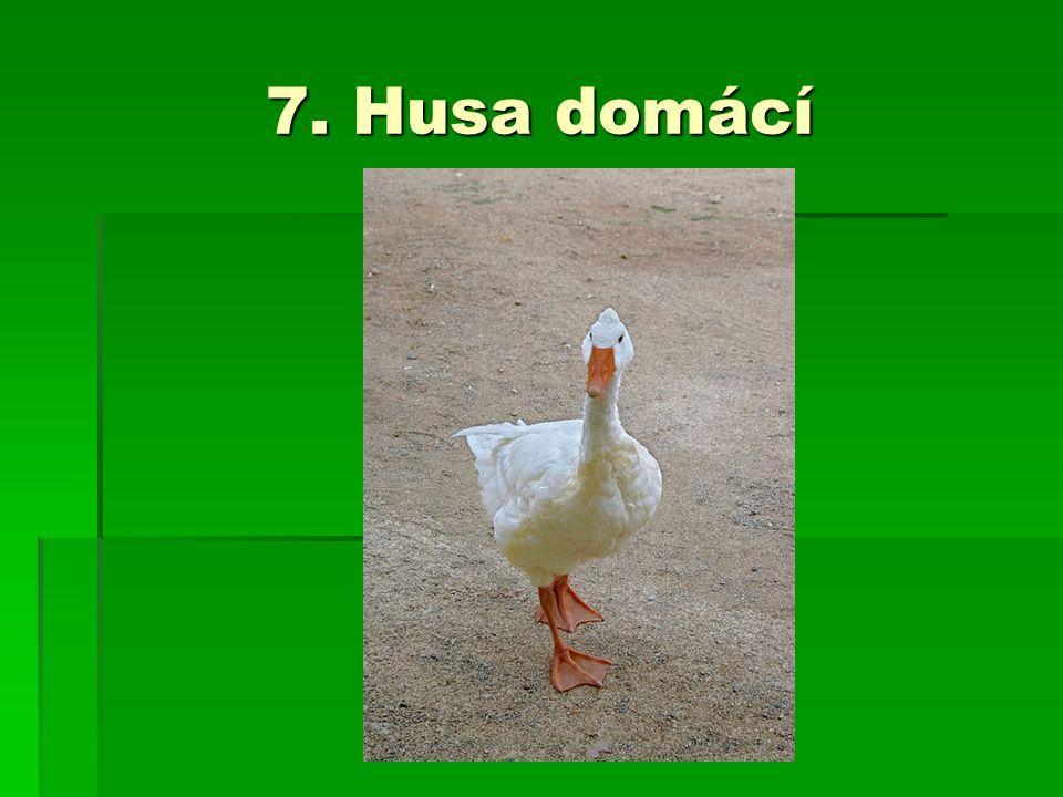 7. Husa domácí
