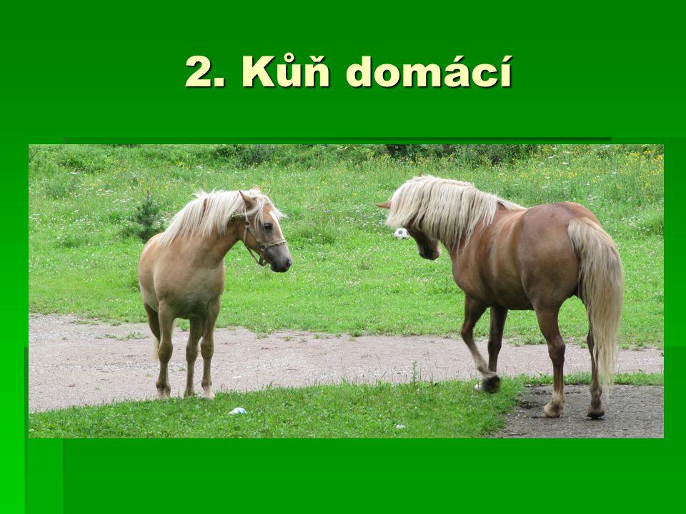 2. Kůň domácí