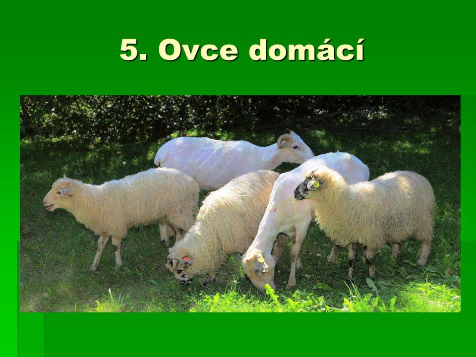 5. Ovce domácí