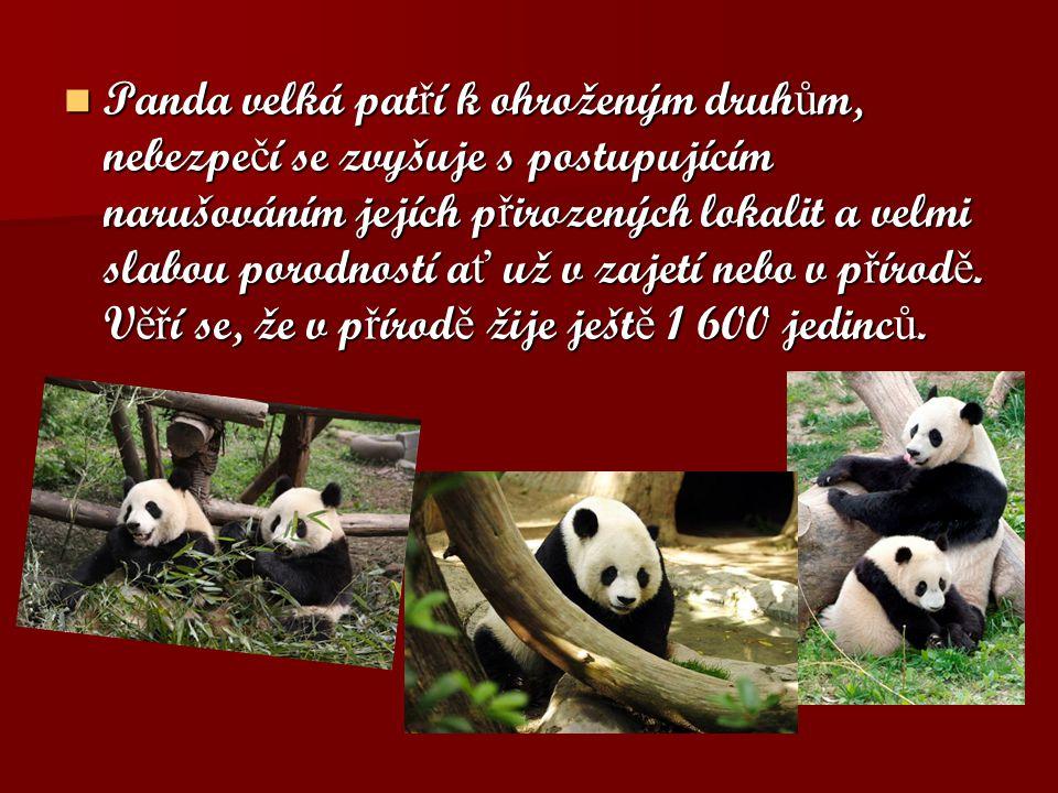 Panda velká pat ř í k ohroženým druh ů m, nebezpe č í se zvyšuje s postupujícím narušováním jejích p ř irozených lokalit a velmi slabou porodností a ť