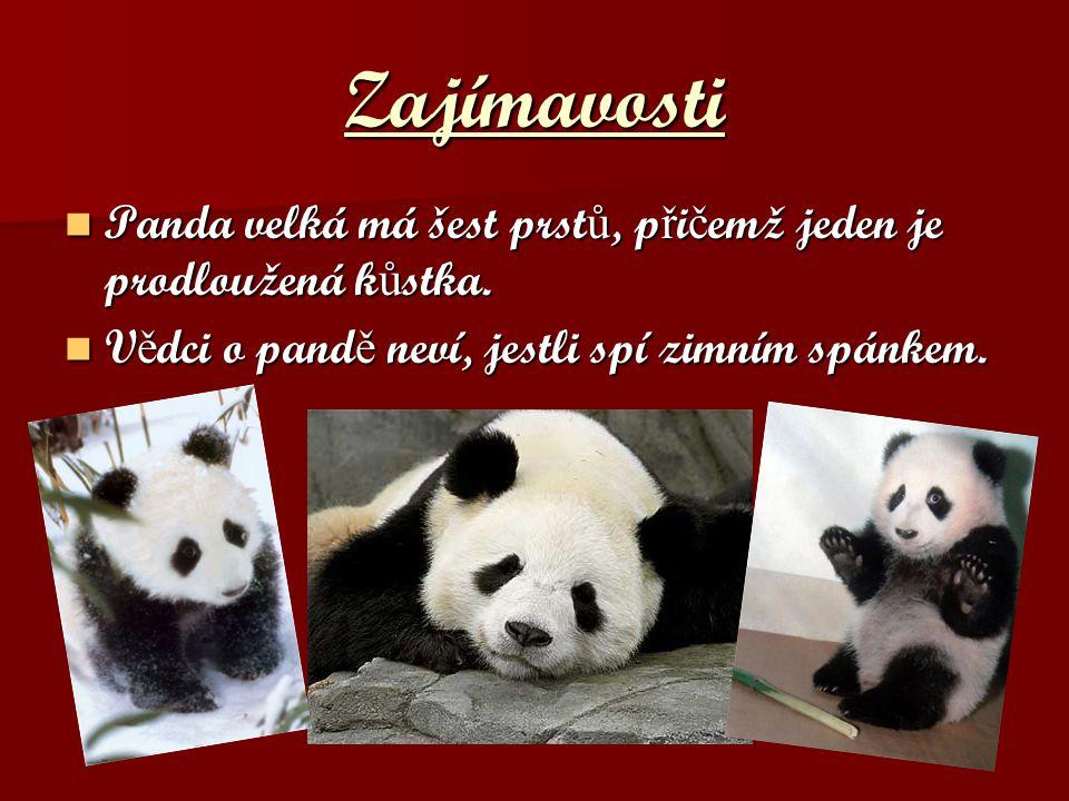 Zajímavosti Panda velká má šest prst ů, p ř i č emž jeden je prodloužená k ů stka. Panda velká má šest prst ů, p ř i č emž jeden je prodloužená k ů st
