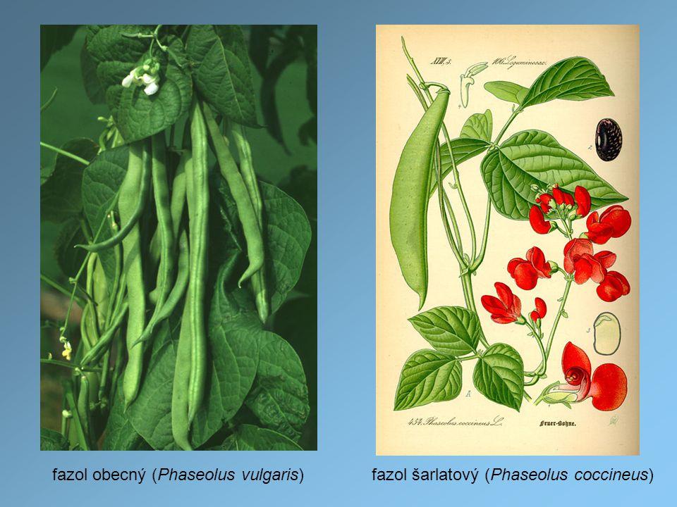 fazol obecný (Phaseolus vulgaris)fazol šarlatový (Phaseolus coccineus)